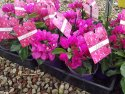 Bougainvillea Vera Purple 140mm BOUVERPUR140