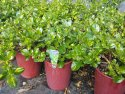 Coprosma Picturata 200mm COPPIC200