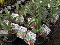 Cordyline fruticosa Pink Diamond 125mm CORFRUPINDIA125