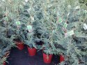 Cupressocyparis leylandii Leightons Green (Leyland Cypress) 200mm CYPLEY200