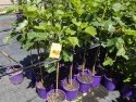 Ficus carica 'White Genoa' (Fig) 200mm FICCARWHIGEN200