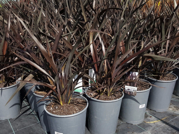 Phormium Black Beauty (Rage) (NZ Flax) 200mm PHOBLABEA200