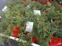 Grevillea Liliane 200mm GRELIL200