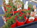 Grevillea New Blood 140mm GRENEW140