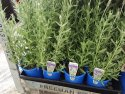 Lavandula dentata (French Lavender) 140mm LAVDEN140