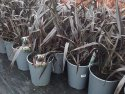 Phormium Platts Black (NZ Flax) 200mm PHOPLA200