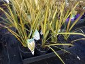 Phormium Apricot Queen (NZ Flax) 140mm PHOAPR140