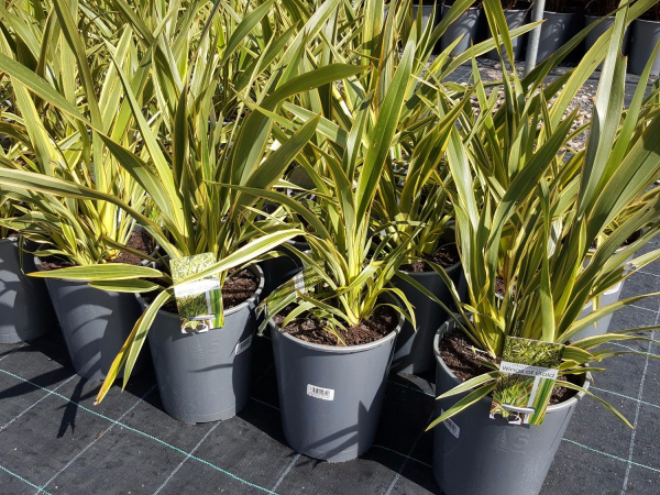 Phormium Wings of Gold (NZ Flax) 200mm PHOWIN200