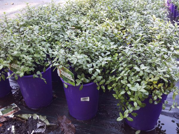 Pittosporum tenuifolium Golf Ball 200mm PITTENGOL200