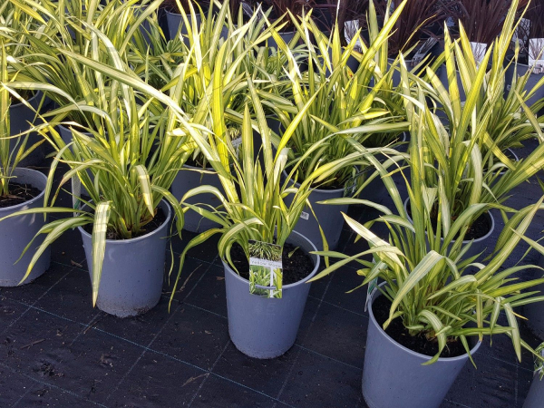 Phormium Yellow Wave (NZ Flax) 200mm PHOYEL200