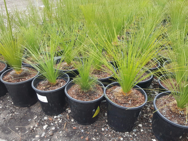 Xanthorrhoea johnsonii Size A (Grass Tree) 250mm pot XANJOHA