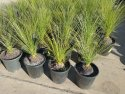 Xanthorrhoea johnsonii Size B (Grass Tree) up to 10cm trunk XANJOHB