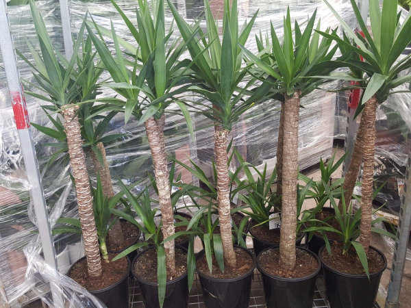 Yucca elephantipes 250mm Std Dble 3ft cane/1ft - tip YUCELE250SD