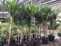 Yucca elephantipes 400mm Std Triple 5ft/2ft/1.5ft YUCELE400ST
