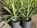 Yucca elephantipes Lemon Drop 200mm YUCELELEM200