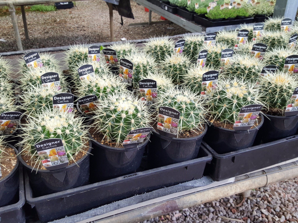 Cactus Golden Barrel 140mm CACGOL140