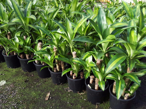Dracaena fragrans massangeana (Happy Plant) 200mm Std DRAFRA200S