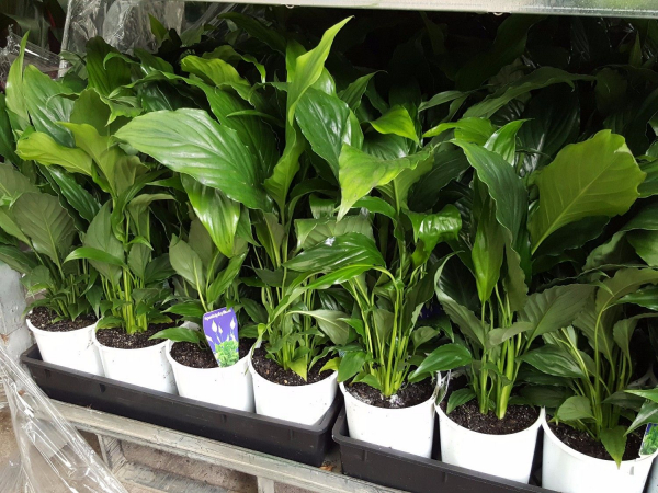 Spathiphyllum (Peace Lily) 140mm SPA140