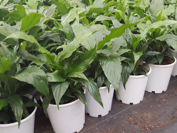 Spathiphyllum (Peace Lily) 175mm SPA175