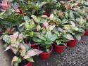 Aglaonema Mixed (Chinese Lucky Plant) 175mm AGLMIX175