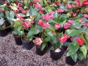 Anthurium andraeanum Mixed (Flamingo Flower) 175mm ANTMIX175