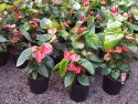 Anthurium andraeanum Mixed (Flamingo Flower) 250mm ANTMIX250