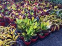 Codiaeum Mix (Croton) 175mm CODMIX175