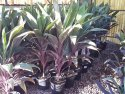 Cordyline fruticosa Pink Diamond 250mm CORFRUPIN250