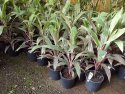 Cordyline fruticosa Pink Diamond 200mm CORFRUPINDIA200