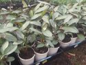 Ctenanthe Grey Star 125mm CTEGRE125