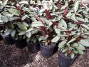 Ctenanthe Grey Star 200mm CTEGRE200