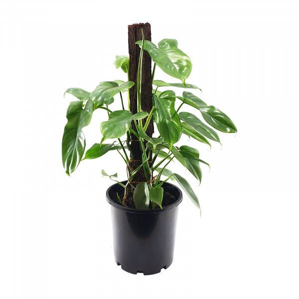 Philodendron panduriforme 200mm Totem PHIPAN200T