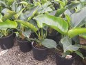 Philodendron Congo 200mm PHICON200
