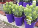 Adenanthos sericea Select (Albany Woolly Bush) 200mm ADESERSEL200