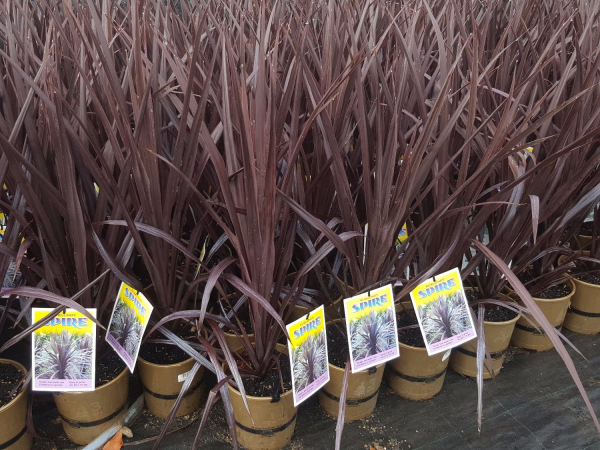 Cordyline australis Burgundy Spire (NZ Cabbage Tree) 175mm CORAUSBURSPI175