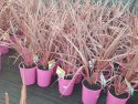 Cordyline australis Electric Pink (NZ Cabbage Tree) 200mm CORAUSELEPIN200