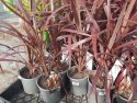 Cordyline australis Red Chocolate (NZ Cabbage Tree) 140mm CORAUSREDCHO140