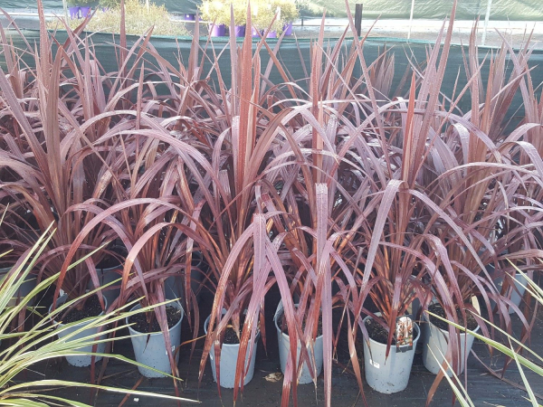 Cordyline australis Red Chocolate (NZ Cabbage Tree) 200mm CORAUSREDCHO200