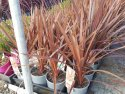 Cordyline australis Red Star (NZ Cabbage Tree) 140mm CORAUSREDSTA140