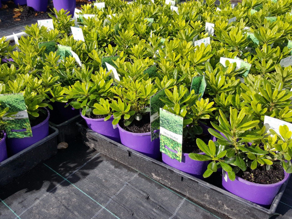 Pittosporum Miss Muffet 140mm PITMISMUF140