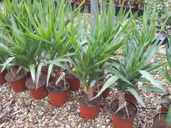 Yucca elephantipes 190mm Std 1ft YUCELE190S1