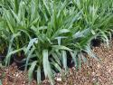 Yucca elephantipes Green 200mm YUCELE200