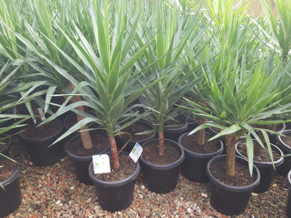 Yucca elephantipes green 300mm YUCELE300
