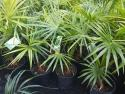 Livistona australis (Cabbage Palm) 200mm LIVAUS200