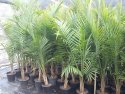 Ravenea rivularis (Majestic Palm) 250mm RAVRIV250