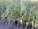 Beaucarnea recurvata (Ponytail Palm) 140mm BEAREC140