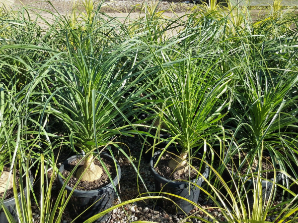 Beaucarnea recurvata (Ponytail Palm) 300mm BEAREC300
