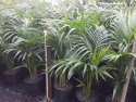 Howea forsteriana (Kentia Palm) 250mm HOWFOR250