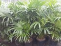 Howea forsteriana (Kentia Palm) 300mm HOWFOR300