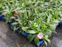 Impatiens New Guinea 140mm IMPNEWGUI140